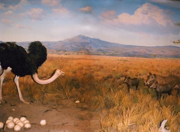 ostrich_warthog